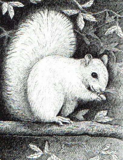 Squirrel Black And White Drawing White Squirrel